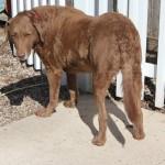 Ginger Adoptable Chessie