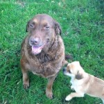 Kaiah, 6yr old female Chesapeake Bay Retriever