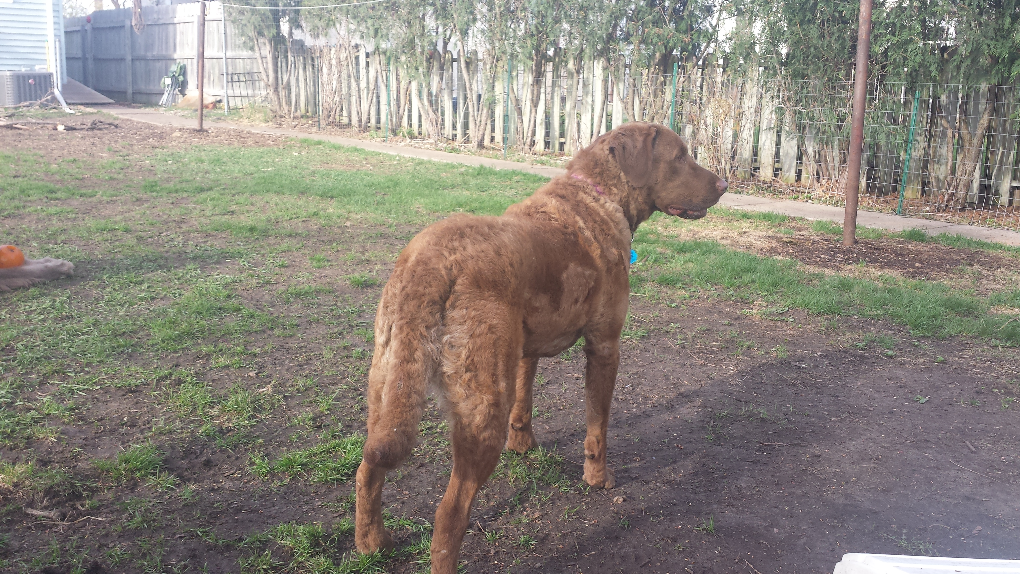Adopted - Twig, 4 yr old spayed female Chessie available for