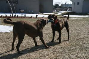 Stella and Hunter playing Tug of War