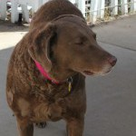 Ginger 7 yr Female Chesapeake Bay Retriever